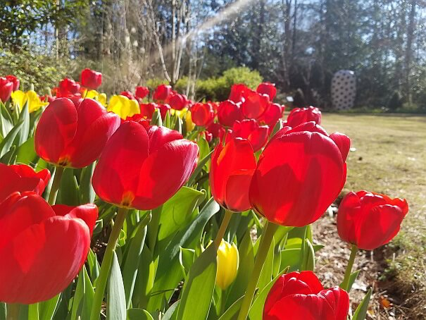 Red Dixon Blooms