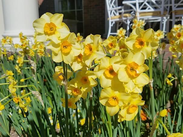 Yellow Dixon Blooms